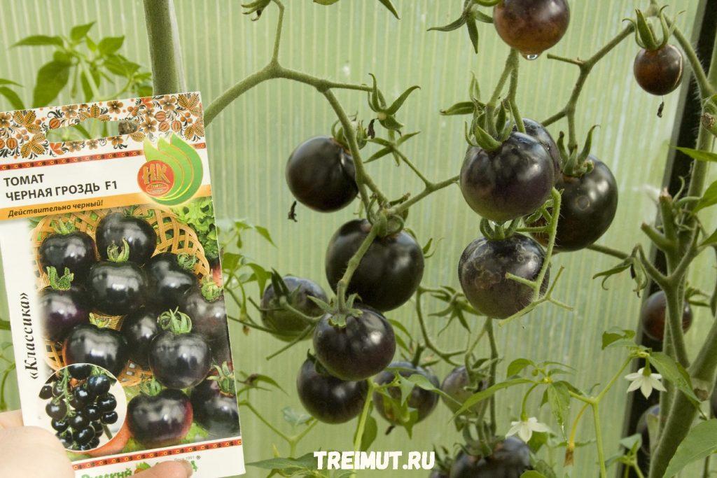 """Томат """"Чёрная гроздь"""""""
